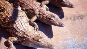 Crocodiles are key environmental indicator species