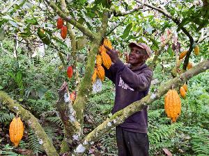 Cocoa Farmer2