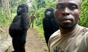 Gorrila And Ranger Pose For Selfie