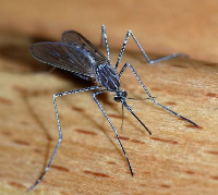 Wrong application of insecticide has made mosquitoes resistant to it