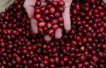 Unusually cold weather threatens coffee crops in the world's largest producer