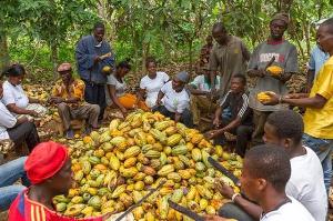 Cocoa Farmers Compressed