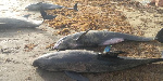 Over 60 dolphins were found dead at the coast of Axim-Bewire on Sunday, April 4