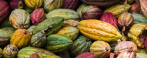 Cocoa Ivorian