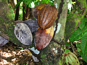 Cocoa farmers have to come together to form an identifiable group