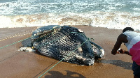 The whale was brought ashore by fishermen after it was trapped
