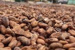 Ghana's 2020/21 cocoa arrivals down 10.4% by November 5 – COCOBOD