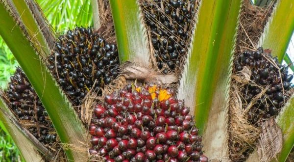 Benchmark valuation policy killing the oil palm industry