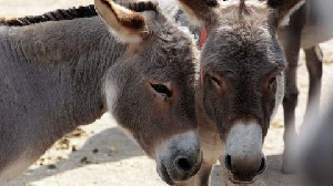 Donkey Hides Are Prized In China For Supposed Medicinal Properties