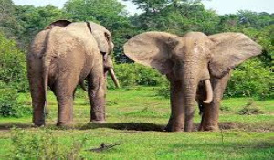 The elephants have destroyed several food crops
