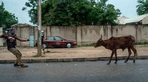 Man wey dey drag cow for street