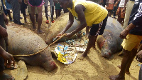 Three manatees caught by fishermen at Ekye-Amanfrom