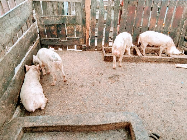 Over GH¢720,000 lost to African Swine Fever at Saki