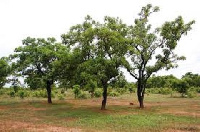 The Presbyterian Agricultural Research Center has describe the destruction of Shea trees as worrying