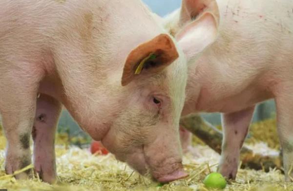 Why the Akwamus respect pigs