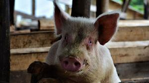 Latest01pix Pig Infant