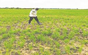 A local rice farm