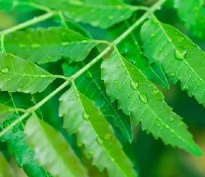 Neem is known for curing fever the traditional way