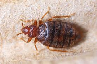 File photo of a bed bug