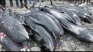 Dead Dolphins washed ashore Accra