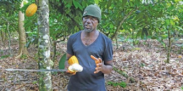 Cocoa farming is a great career – Farmer