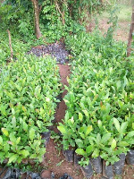 Afram Plains District Assembly raises 150k cashew and Mango seedlings for farmers