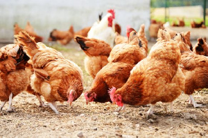 Poultry   Harvest