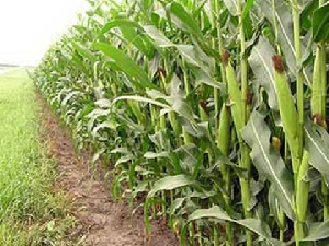 A total of 2,160.08 hectares of land had been put under maize and rice cultivation