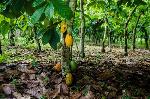 China may overtake Ghana in cocoa production - Kwabena Amofa Ababio