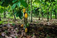 File photo of a cocoa farm