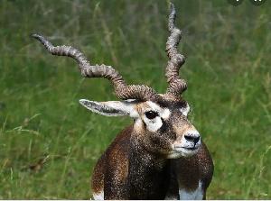 Wild Antelope  .png