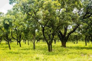 Shea Trees 696x464