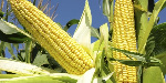 Prices of maize in Ghana stabilized after ease of coronavirus restrictions
