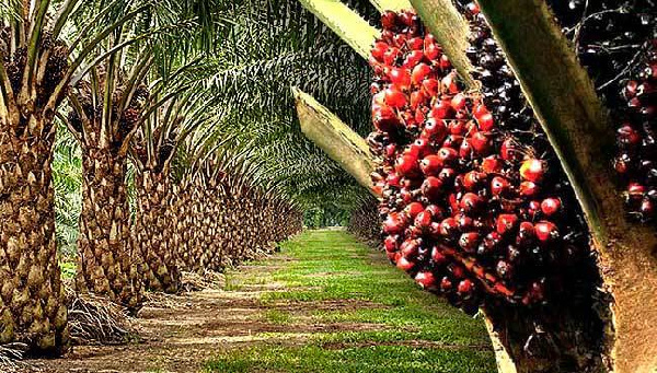 'Encourage private sector to invest in oil palm industry' - SWAPP
