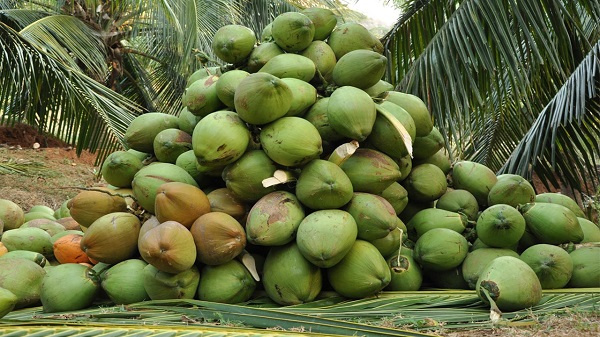 Coconut farmers in Western, Central sign pact with processing company