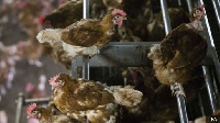 Different cases on bird flu have been reported in Ghana