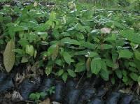 Cocoa seedlings