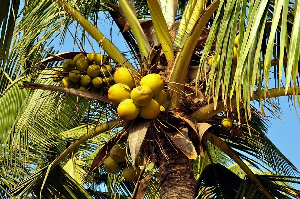 A photo of a coconut tree