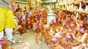 Poultry, Hen