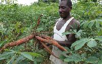 A farmer with cassava