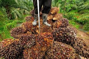 Oil Palmp