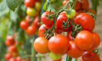 File photo: A tomato plant