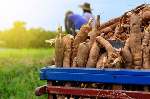 Two institutions partner to boost cassava processing