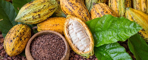Ghana and Cote d'Ivoire are responsible for 65% of the raw cocoa beans used in making chocolates