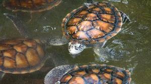 Turtles in water. PHOTO   AFP