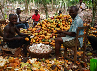 Cocoa trees take on the average, 3-5 years to yield a crop