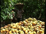 National standards needed to ensure sustainability in cocoa sector