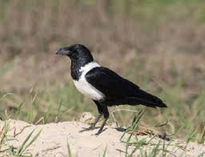 File photo of a the crow