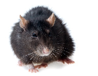 Lasser Fever is mainly tranmitted through rodents and has killed close to 300 people in Nigeria
