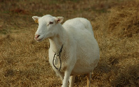 File photo: The man confessed having sexual intercourse with the sheep